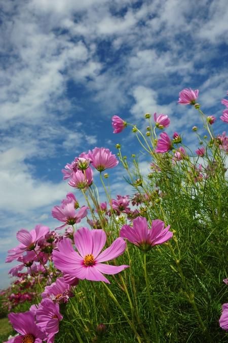 Różowe kwiaty -  kosmosy