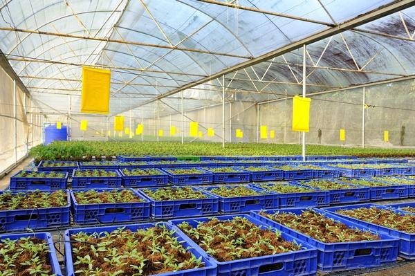 Rozsada pomidora – jak przygotować sadzonki pomidorów?