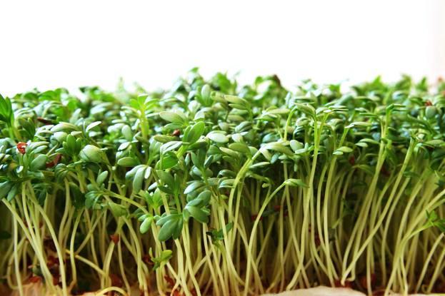 Uprawa rzeżuchy