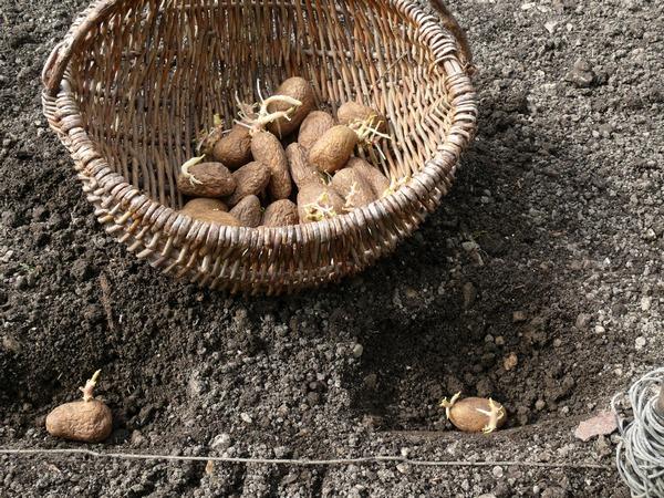 Sadzeniaki ziemniaków