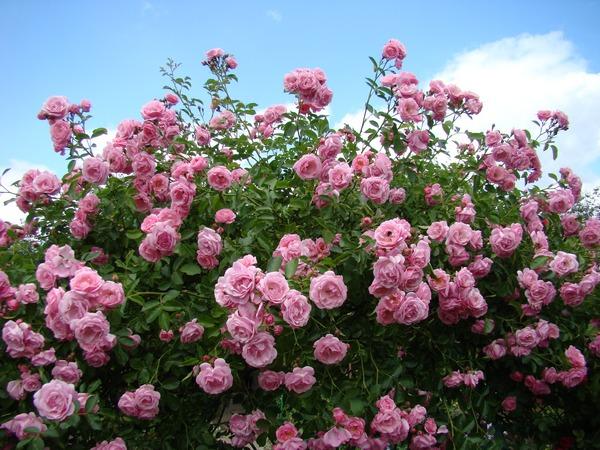 Sadzenie róż - jak sadzić róże