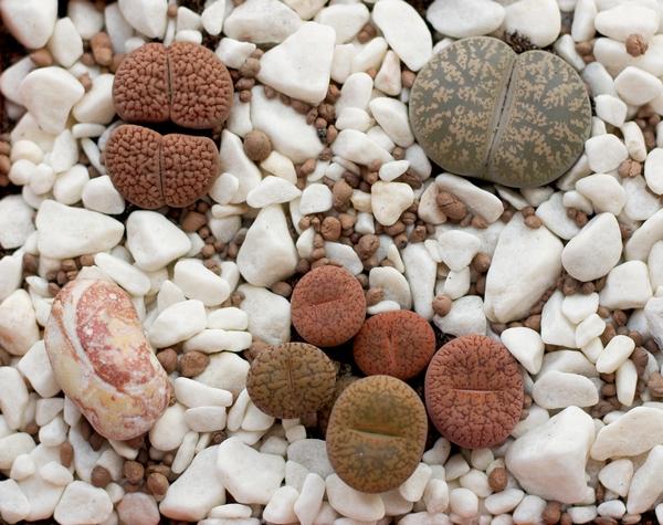 Sukulenty - żywe kamienie