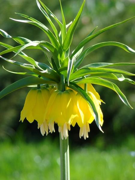 Szachownice - kwiaty