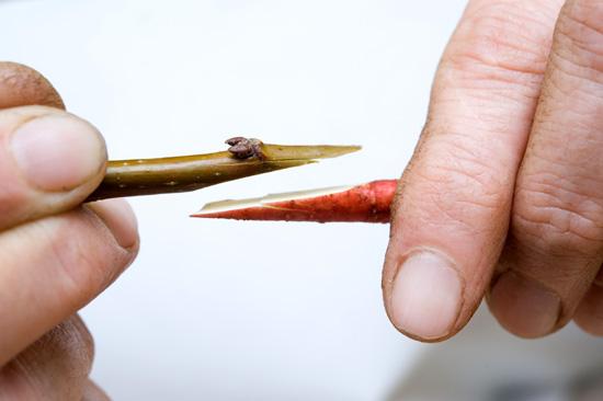 Szczepienie jabłoni - Szczepienie przez stosowanie fot.2
