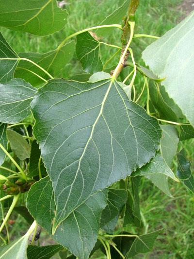 Topola czarna - liście