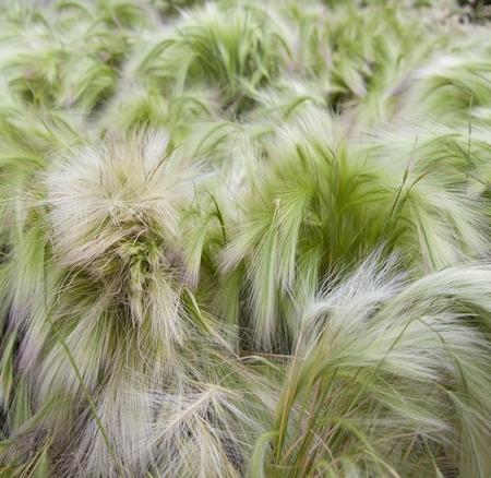Trawy jednoroczne - jęczmień grzywiasty