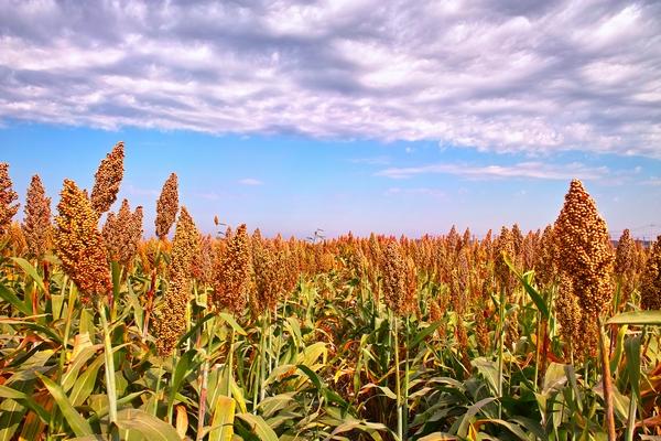Trawy jednoroczne - sorgo