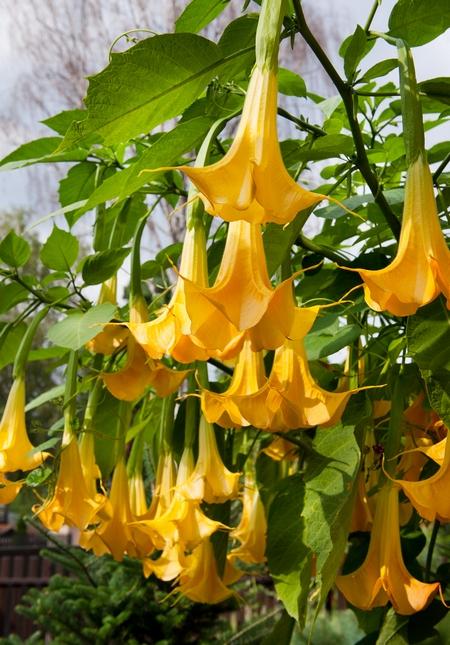 Trujące rośliny - datura