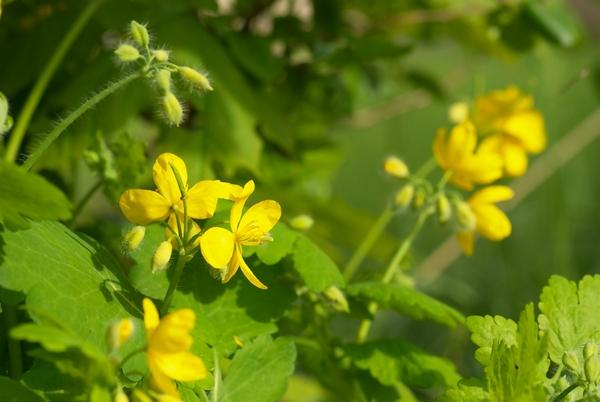 Trujące rośliny - jaskółcze ziele