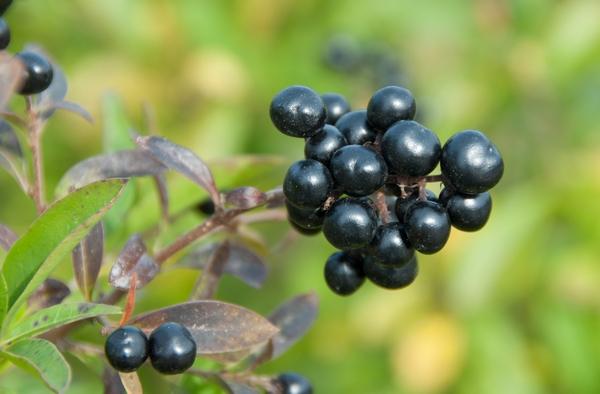 Trujące rośliny - ligustr