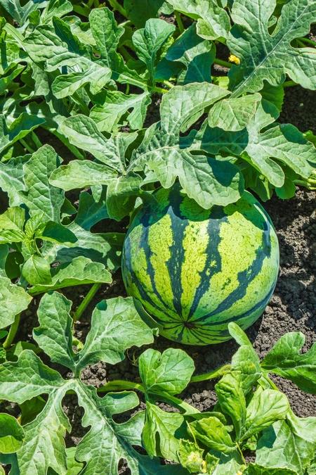 Uprawa arbuza