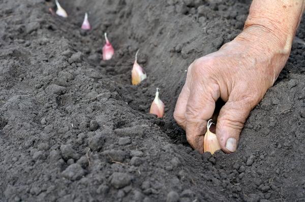 Uprawa czosnku - sadzenie