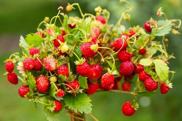Uprawa poziomek - owoce