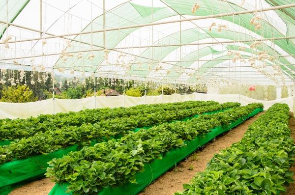 Uprawa truskawek pod osłonami