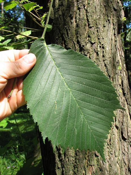 Wiąz górski - liście