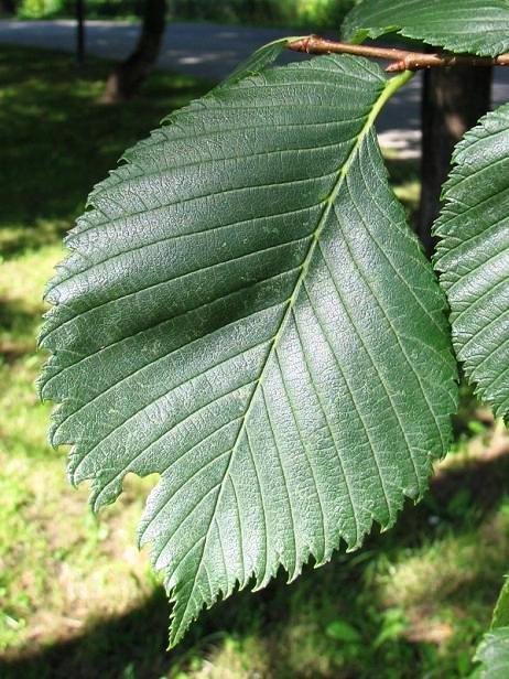 Wiąz szypułkowy - liście