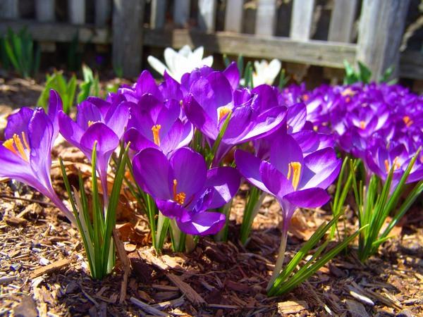 Wiosenne rośliny - krokusy