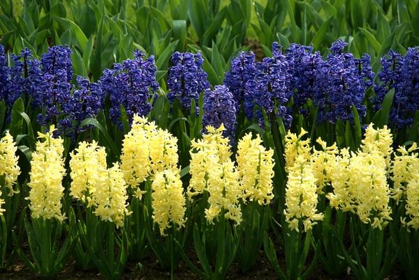 Wiosenne rośliny - hiacynt