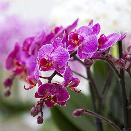 Storczyk - falenopsis