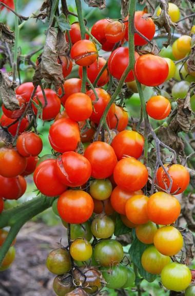 Zaraza ziemniaka na pomidorach