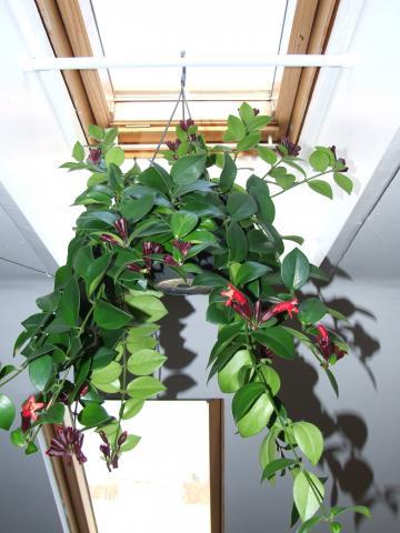 Zwisające kwiaty doniczkowe - eschynantus
