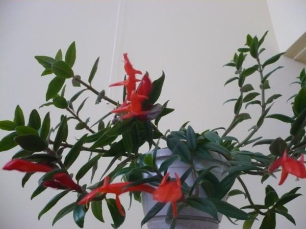 Zwisające kwiaty doniczkowe - kolumnea
